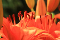 Red Lilies Royalty Free Stock Images