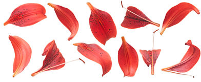 Red lilies petals royalty free stock photography