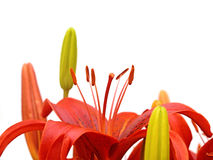 Red lilies Royalty Free Stock Photography