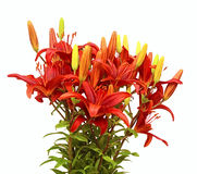 A red lilium bouquet Royalty Free Stock Photography