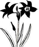 Red Lilium - Red Lily - Hand Drawn Ink Drawing. This is a hand drawn ink drawing. The drawing shows a red lily. The plant is drawn monochrome black. The latin Royalty Free Stock Photography