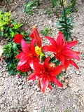 Red lillies from above royalty free stock photos