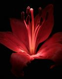 Red lilly. A red lilly with dew on a dark background stock photography
