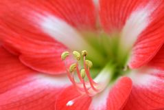 Red Lilly Flower Royalty Free Stock Photography
