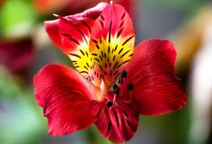 Red Lilly flower closeup, macro, green red  background Stock Photo