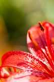 Red lilly flower with water drops Royalty Free Stock Photos