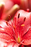 Lilly flowers with water drops Stock Image