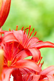 Red lilly flowers with water drops Stock Images