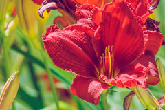Red lilly in garden. Royalty Free Stock Photo