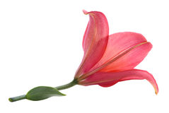 Red lily Stock Photos