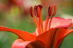 Red Lily Stock Images