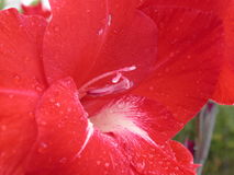 Red lily. Petal to red lily after rain, macro Royalty Free Stock Photography