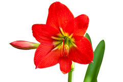 Free Red Lily Stock Photo - 19306730