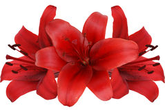 Red lily Stock Photography