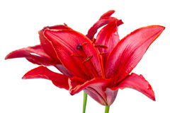 Red lily Royalty Free Stock Image