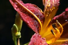 Red lily. With dew Royalty Free Stock Image