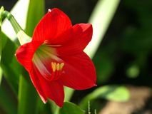 Red Lily. In house garden Royalty Free Stock Photography