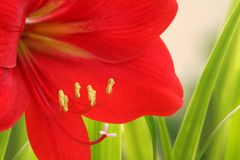 Red lily. Grows on the green grass field Royalty Free Stock Image