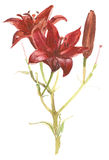 Red lily Stock Photo