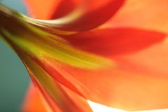 Red lily from back side Stock Images