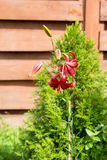 Red lily on background of thuja Royalty Free Stock Photos