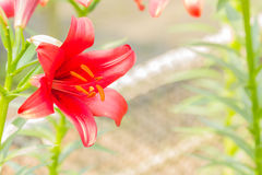 Red lily. Royalty Free Stock Photos