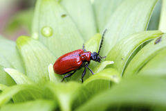 Red lily beetle Royalty Free Stock Photos