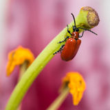 Red Lily Beetle Stock Photography