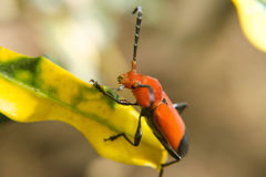 Red lily beetle Royalty Free Stock Photography