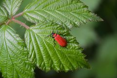 Red lily beetle stock photos