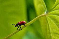 Red Lily Beetle. Red Leaf Lily Beetle (Air Potato Beetle) on vine royalty free stock photo