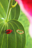 Red lily beetle Royalty Free Stock Images