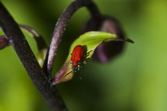 The red lily beetle Royalty Free Stock Image