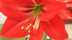 Red lily bloom in the wind. A red lily bloom in the wind stock video