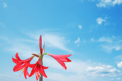 Red lily and blue sky Royalty Free Stock Photography