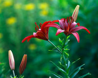 Red lily bush. Dark red colors lily bush Royalty Free Stock Images
