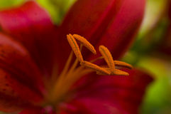 Red Lily. Closeup macro of red lily highlighting orange stamen center with green leaves blurred background royalty free stock images