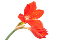 Red lily in drops of water Royalty Free Stock Photo