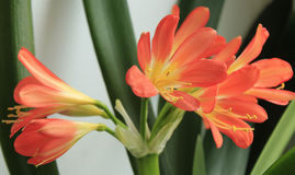 Red Lily Stock Image