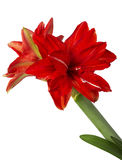 Red lily flower Stock Images