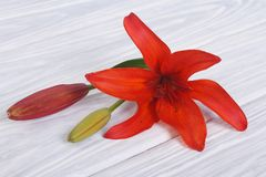 Red lily flower with a bud on a table Stock Photo