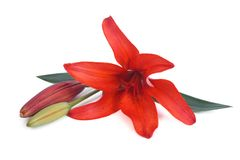 Red lily flower with a bud  Stock Photos