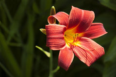 Red Lily Flower Royalty Free Stock Images