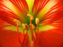 Red lily flower detail Stock Photos