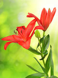 Red lily flower Royalty Free Stock Photography