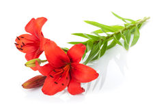 Red lily flower Royalty Free Stock Photos