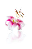 Red lily flower isolated on white Royalty Free Stock Image
