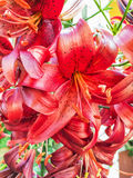 Red lily flowers background Stock Image