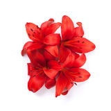Red lily flowers. Isolated on background Stock Photography