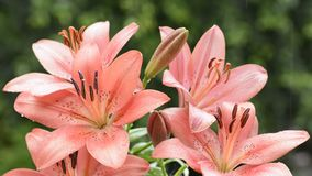Red lily flowers stock footage